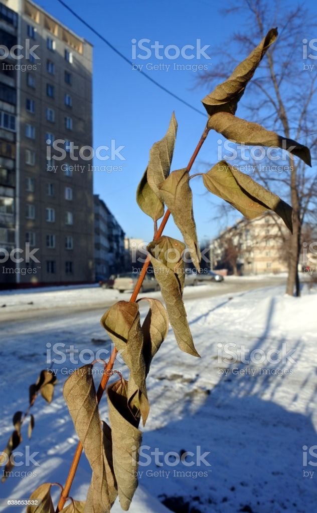 dried branch of lilac with leaves on blurred urban background stock photo