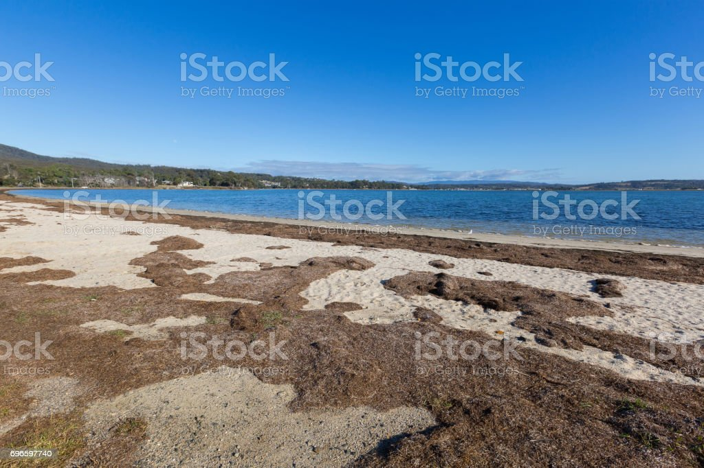 Dried brown seagrass seaweed washed ashore on Georges Bay in St Helens, Tasmania, Australia stock photo