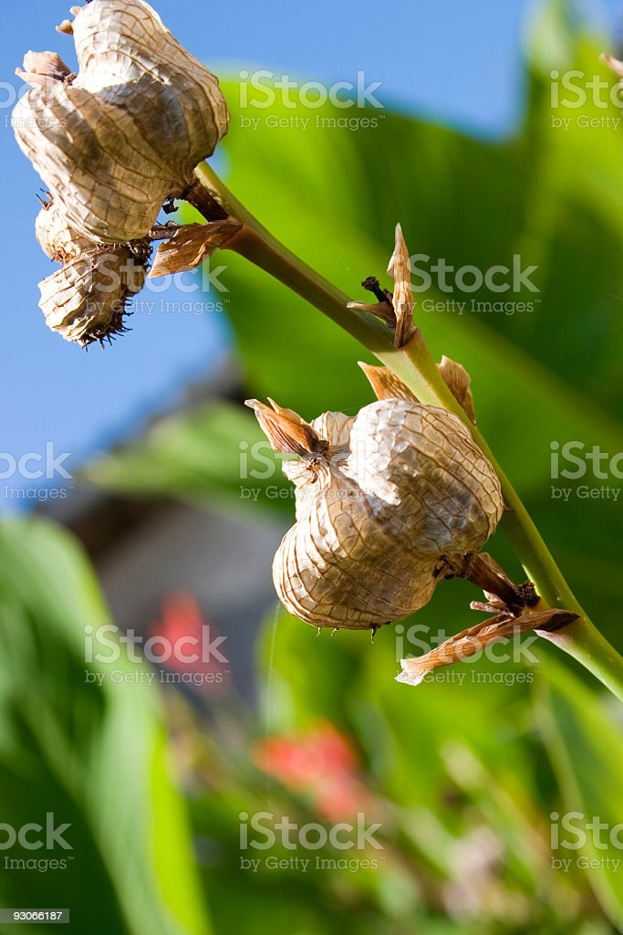 Dried canna royalty-free stock photo