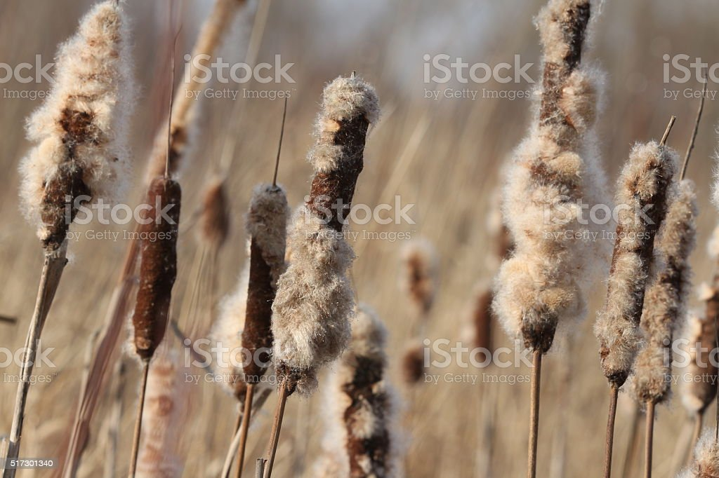 Dried Cattail stock photo