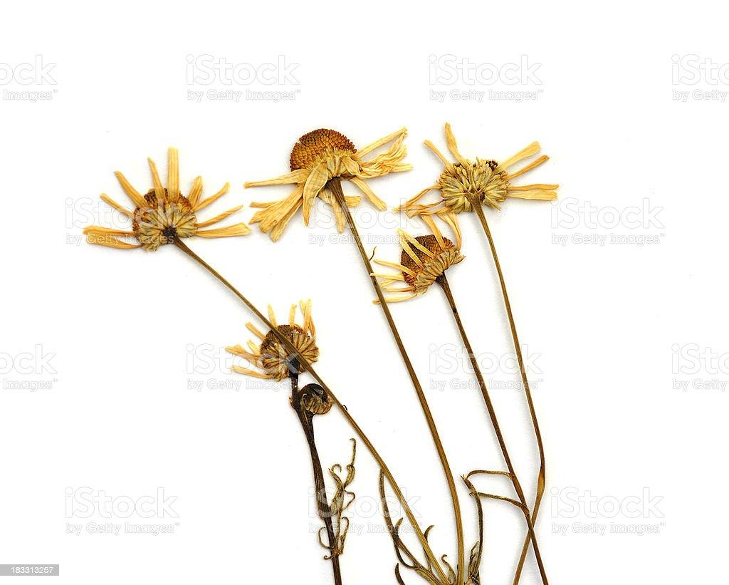 Dried chamomile (Matricaria chamomilla L.) royalty-free stock photo