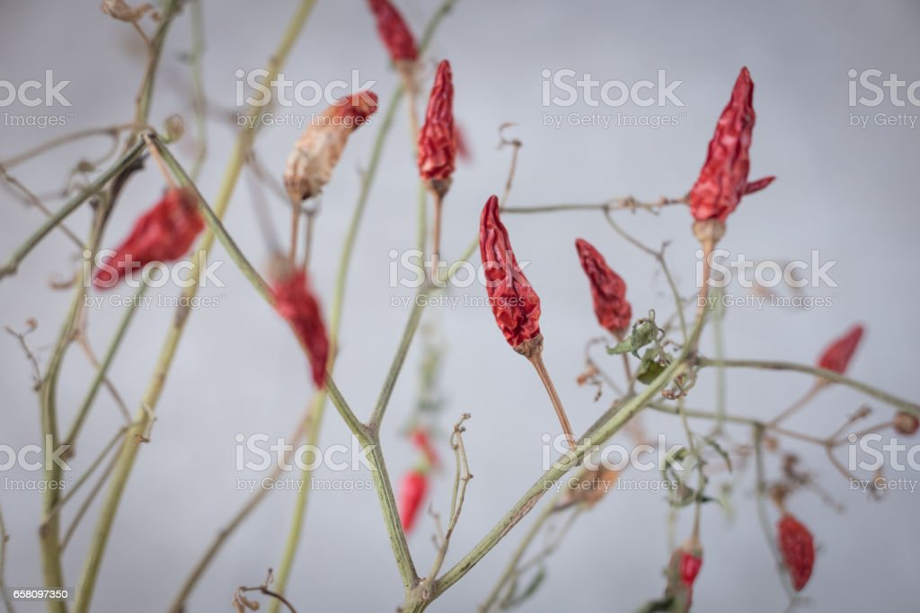 Dried chilli tree form twigs with leaves and branch stock photo