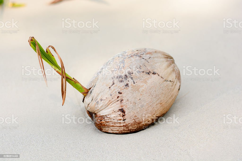 Dried coconut, on the beach stock photo