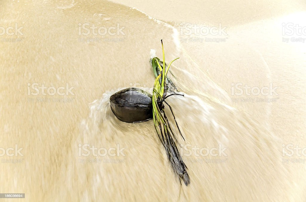 Dried Coconut washed up in the beach stock photo