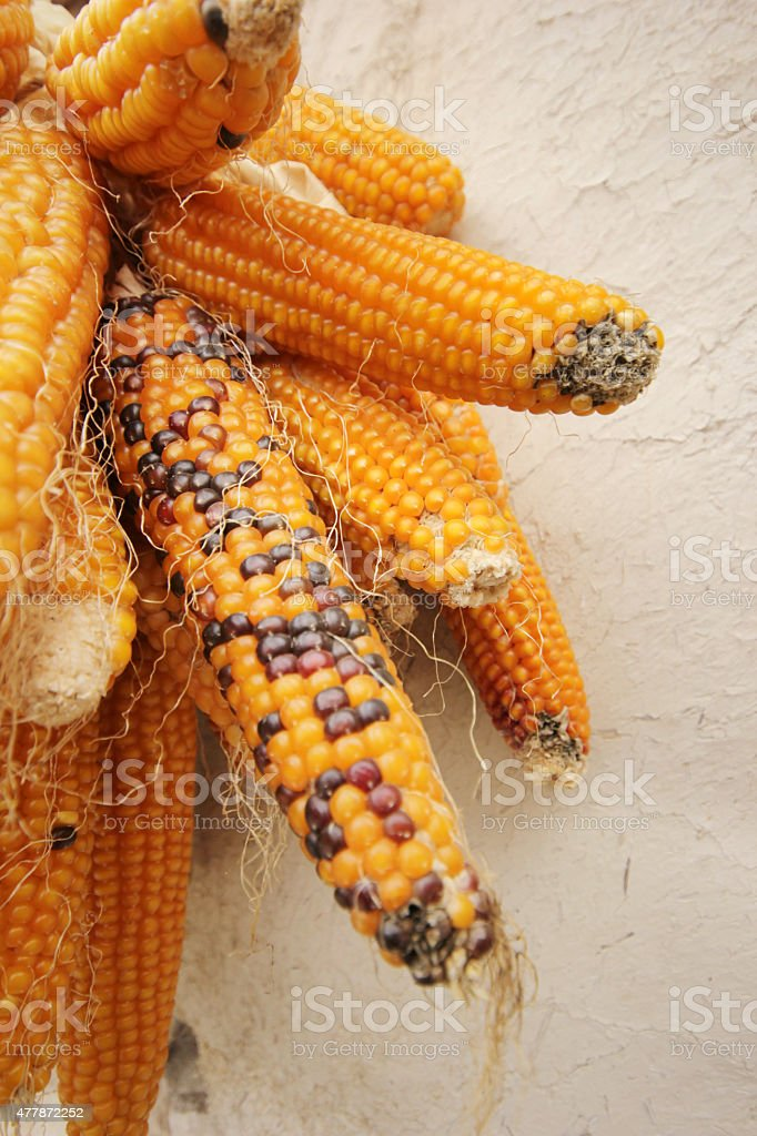 Dried Corn stock photo