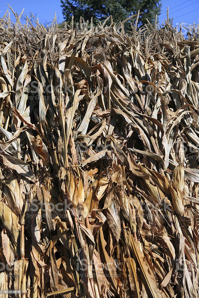 Dried Corn Stalks in Autumn royalty-free stock photo