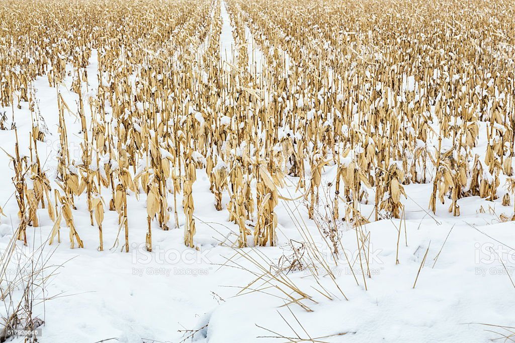 Dried Corn Stalks in Winter Snow Agricultural Farm Field stock photo