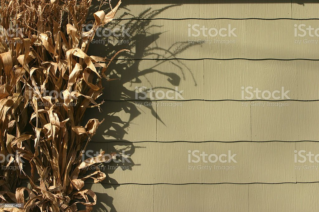 Dried corn stalks royalty-free stock photo