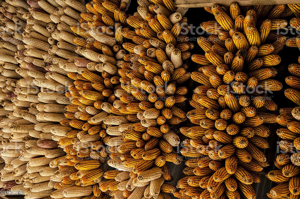 Dried corn-cobs hung on the beam royalty-free stock photo