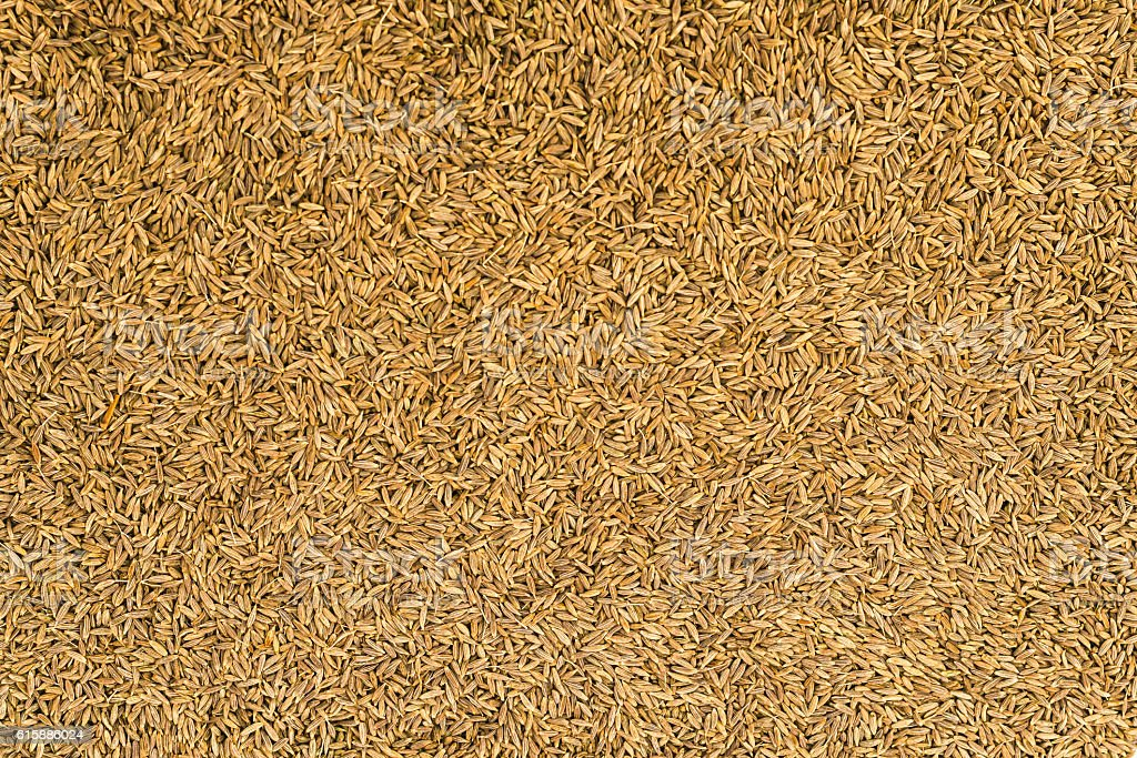 Dried cumin seeds (jeera) stock photo