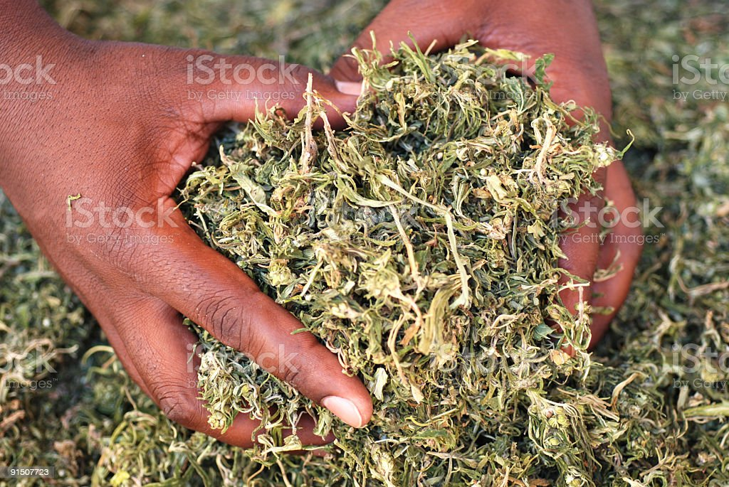 Dried Dagga stock photo