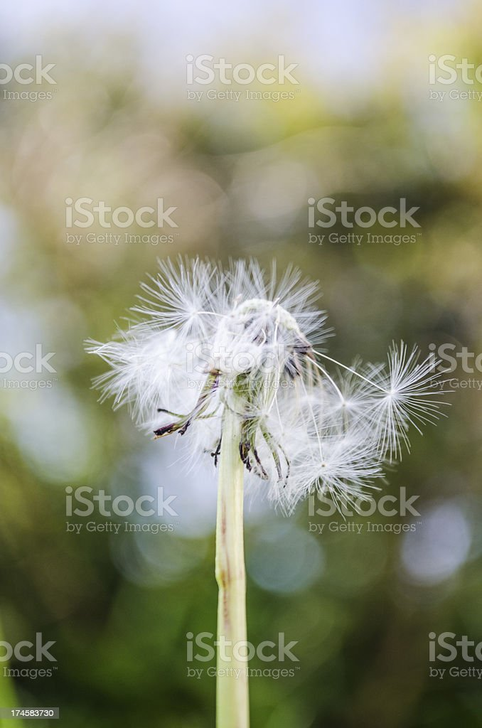 dried dandelion with some seeds blown royalty-free stock photo
