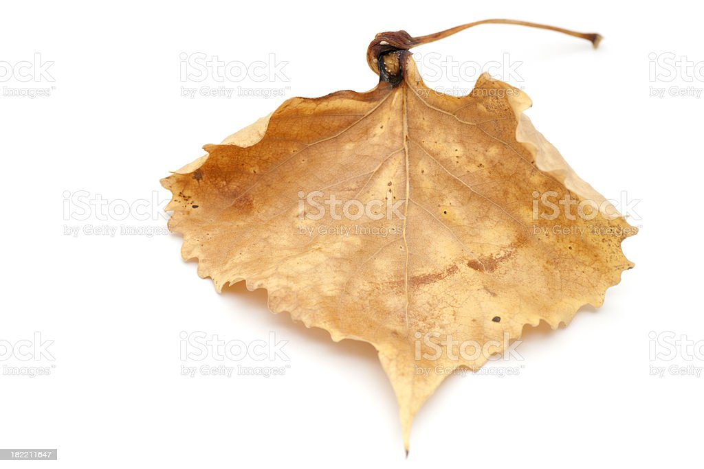 dried fallen cottonwood leaf stock photo