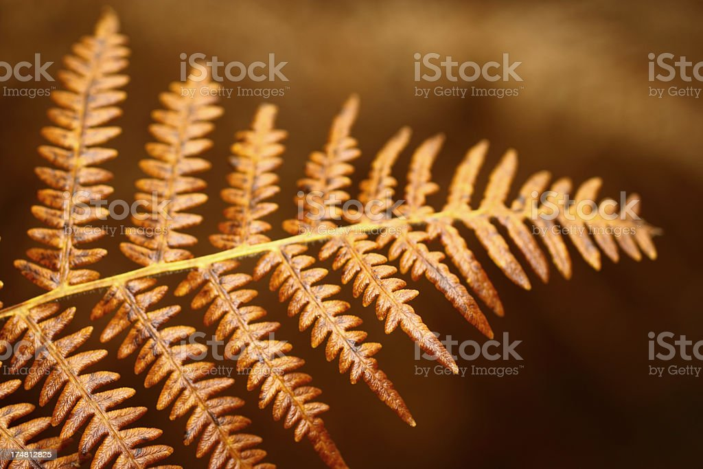Dried Fern plant in autumn royalty-free stock photo