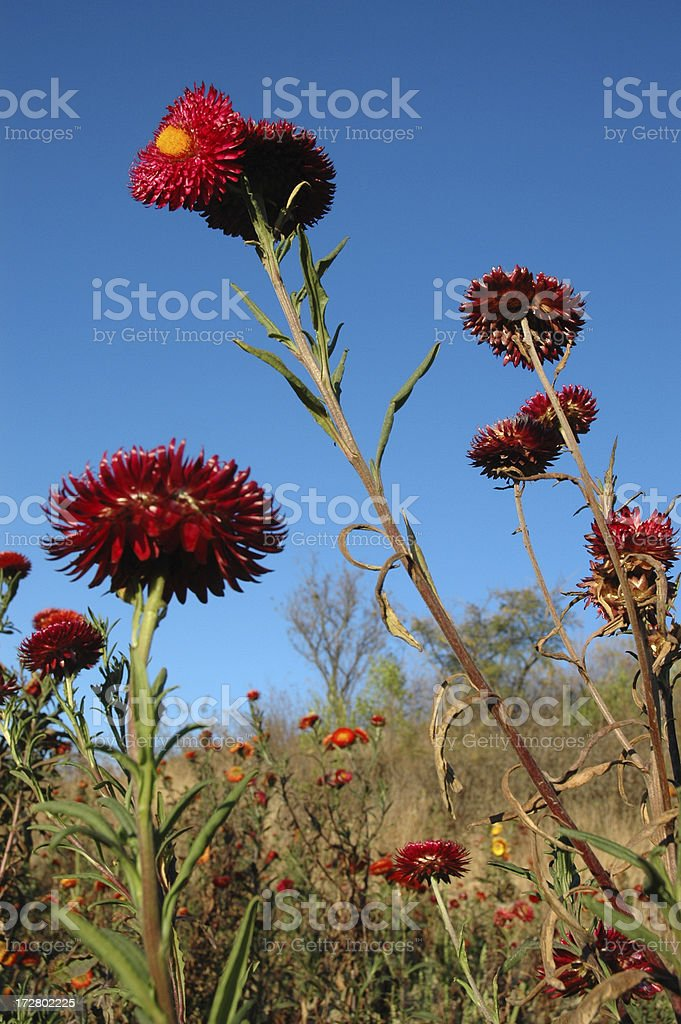Сухое цветы против неба. Стоковые фото Стоковая фотография