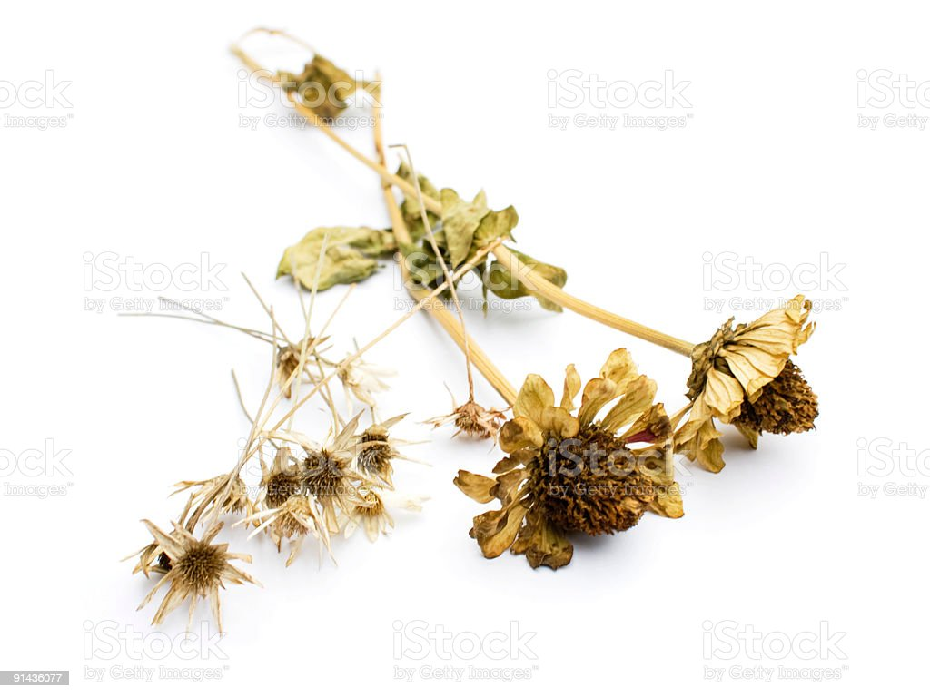 Dried Flowers, isolated stock photo