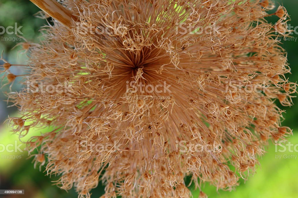 Dried Giant Onion - Allium giganteum, macro stock photo