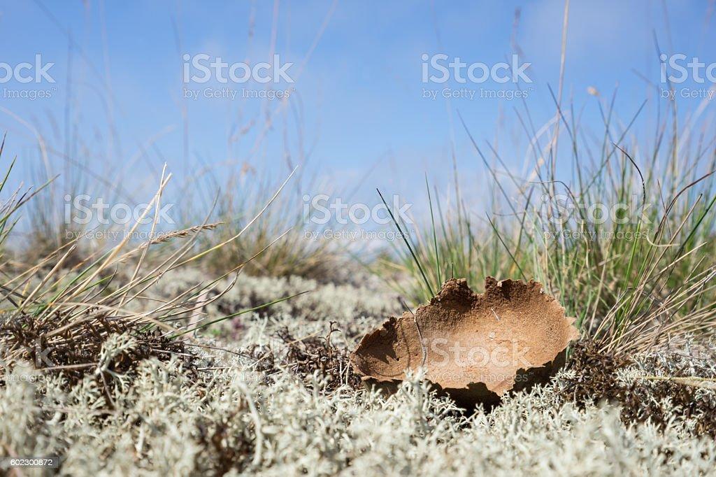 Dried giant puffball. Calvatia gigantea, blue sky, moss and grass stock photo