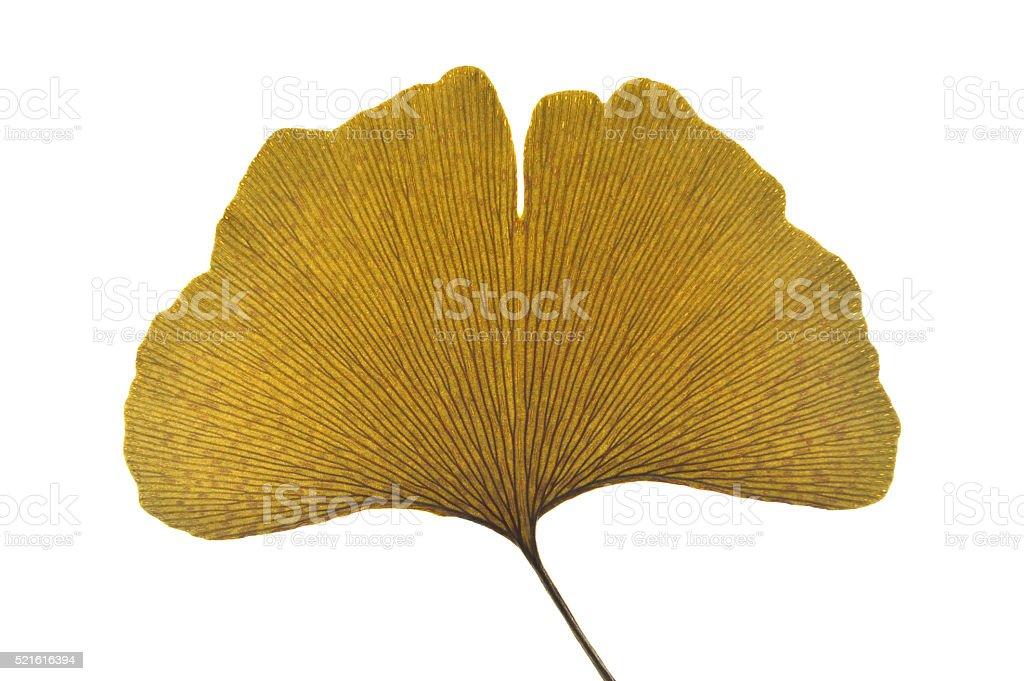 Dried ginkgo leaf stock photo
