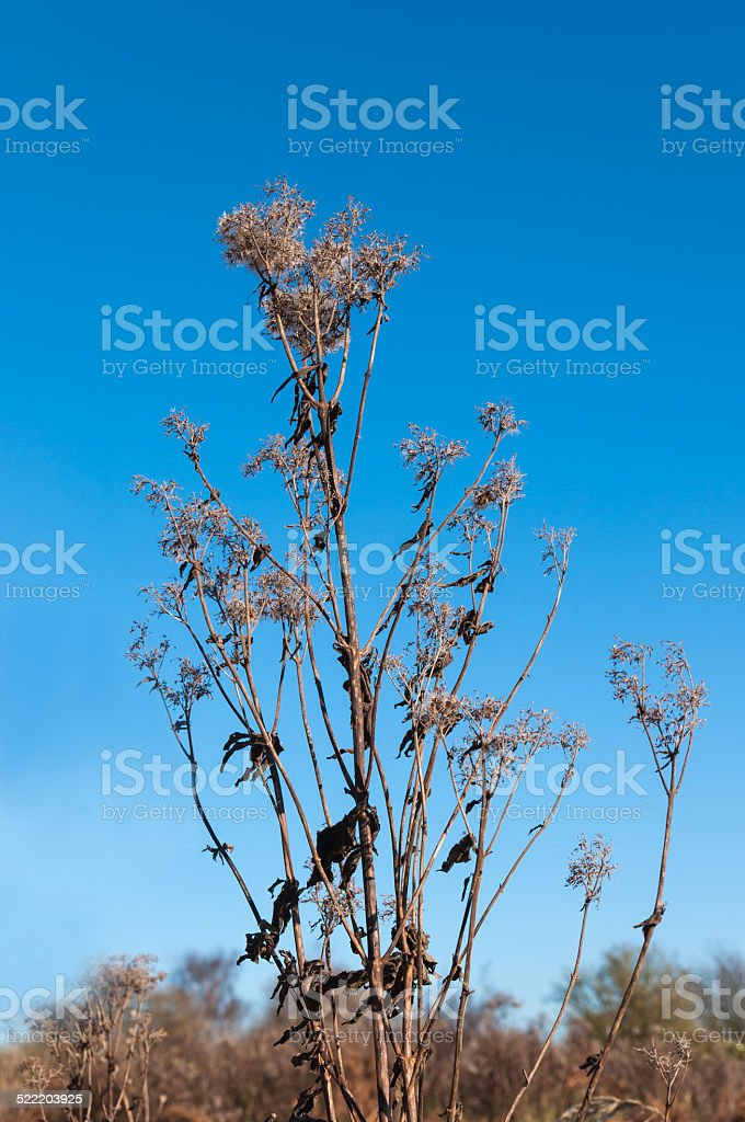 Dried Goldenrod with fluffy seedheads in a marshy nature stock photo