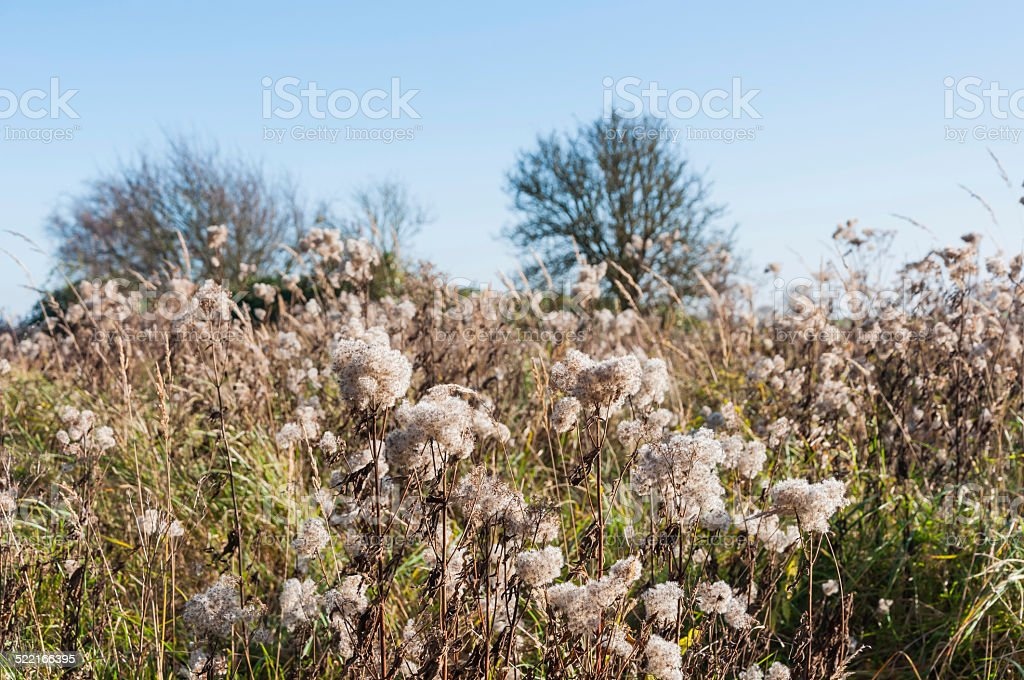 Dried Goldenrod with fluffy seedheads stock photo