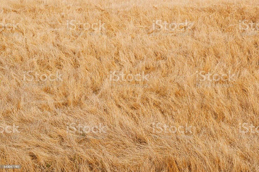 Dried grass background stock photo