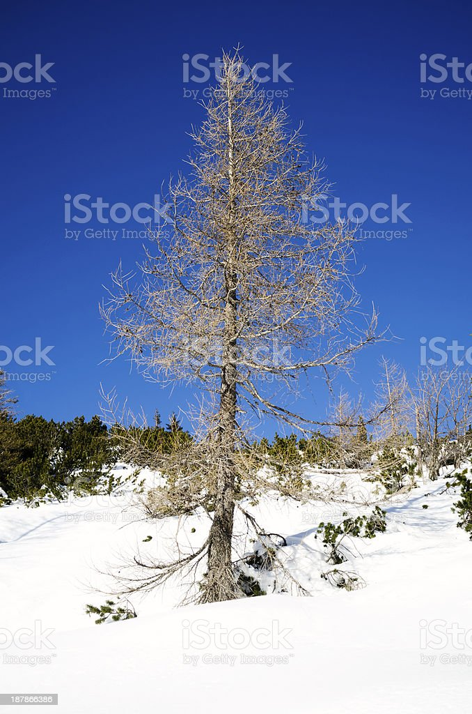 Dried larch in the snow - Julian Alps royalty-free stock photo