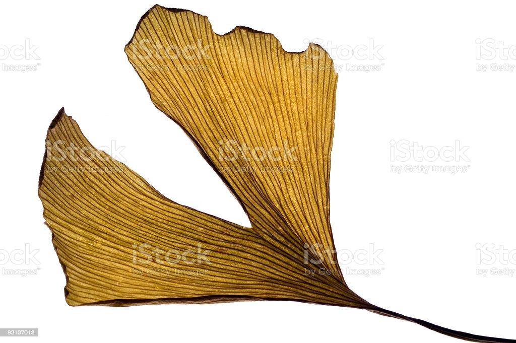dried leaf of ginkgo biloba. herbs stock photo