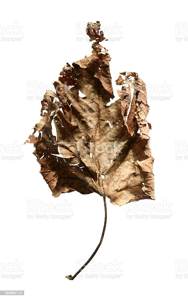 dried leaf royalty-free stock photo