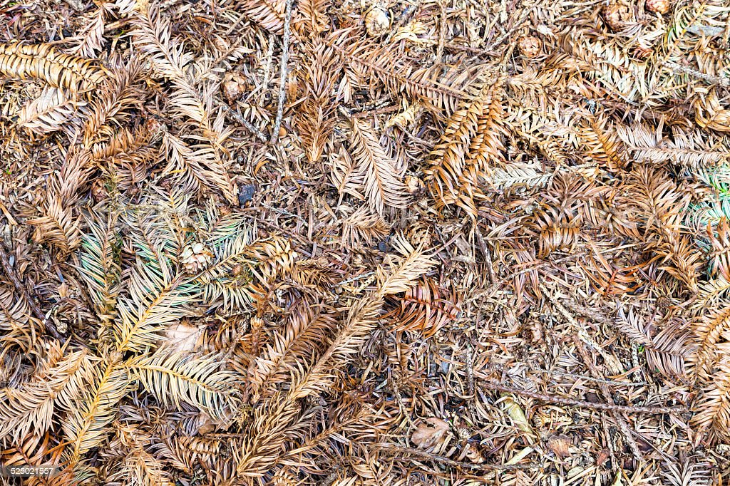 Dried leaves of Cunninghamia tree stock photo