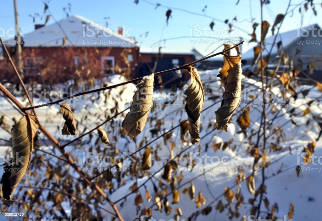 dried leaves on branch against the blurred backdrop of winter stock photo