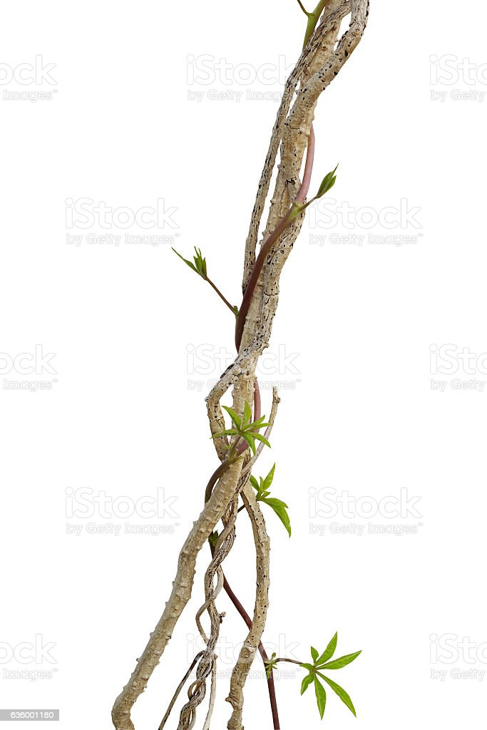 Dried liana plant with wild morning glory vine climbing isolated stock photo