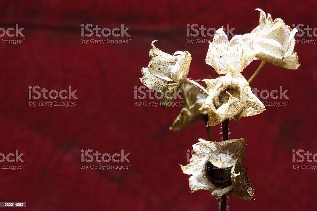 dried mallow stock photo