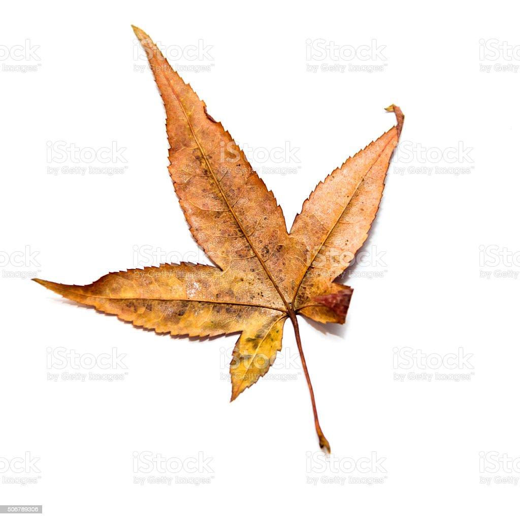 Dried maple leaf stock photo