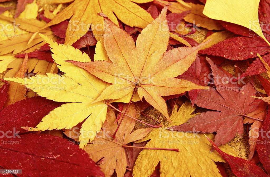 Dried maple royalty-free stock photo