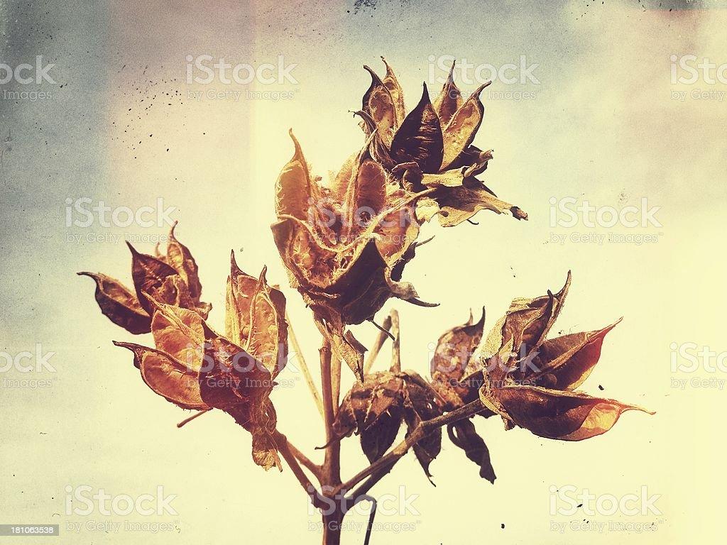 Dried milkweed portrait stock photo