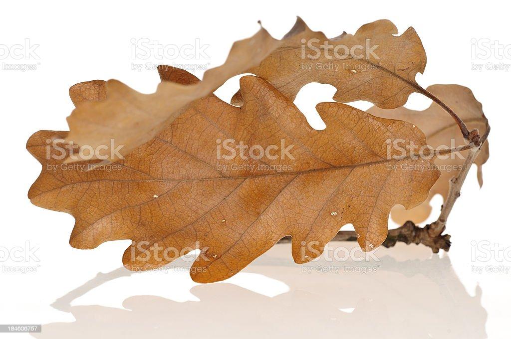 Dried oak leaf royalty-free stock photo