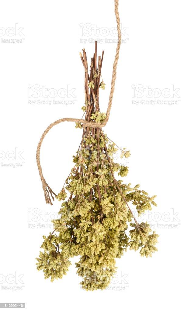 Dried  oregano bouquet stock photo