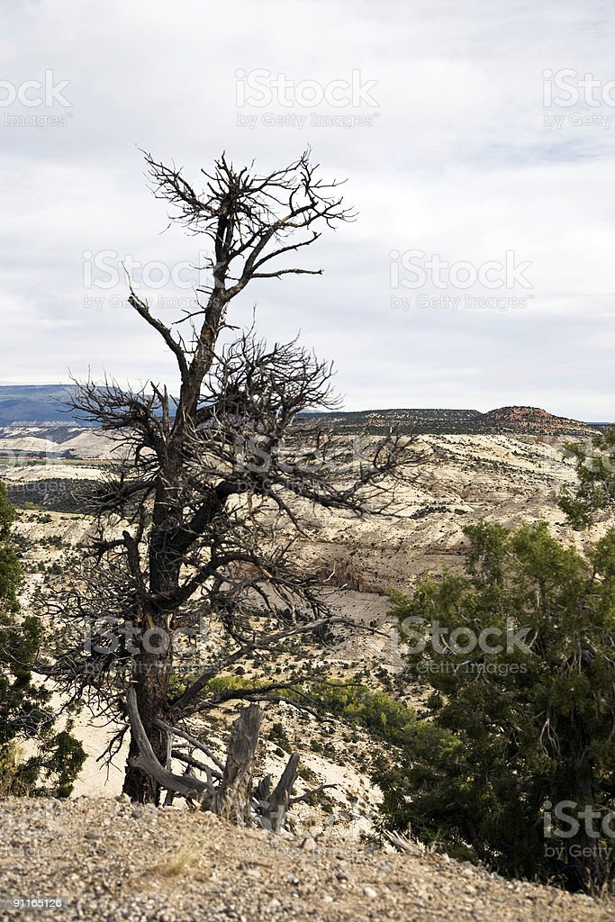 Dried out Pine tree stock photo
