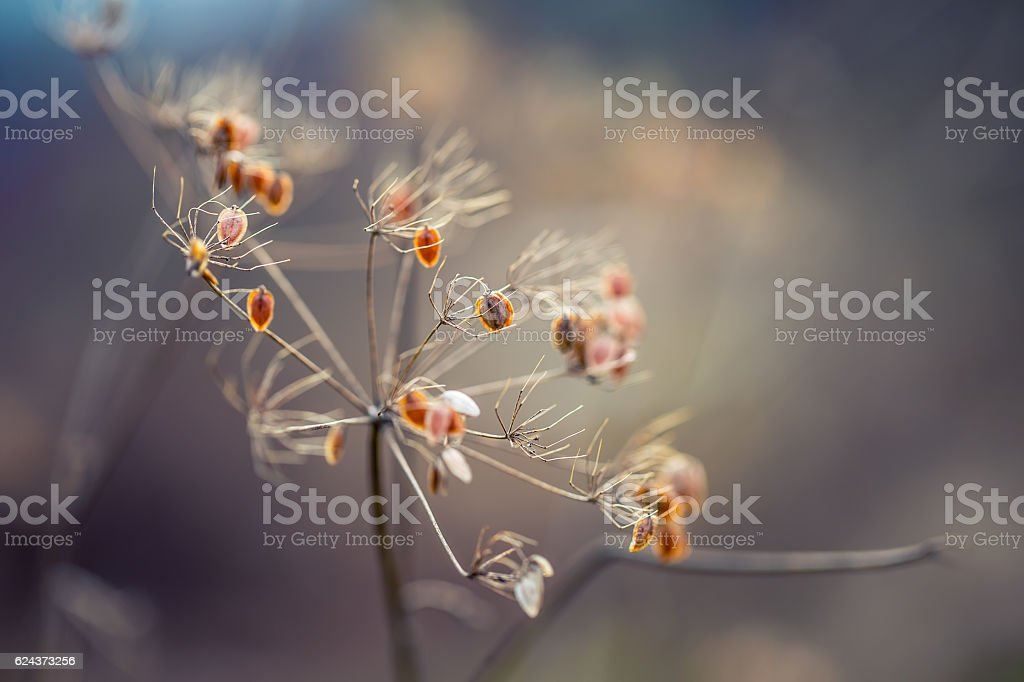 Dried out plant chervil forest in autumn lights colors. stock photo