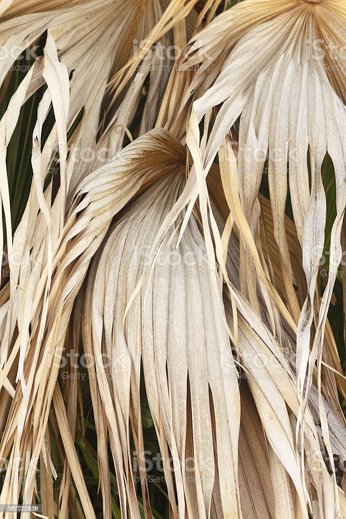 Dried Palm Fronds royalty-free stock photo