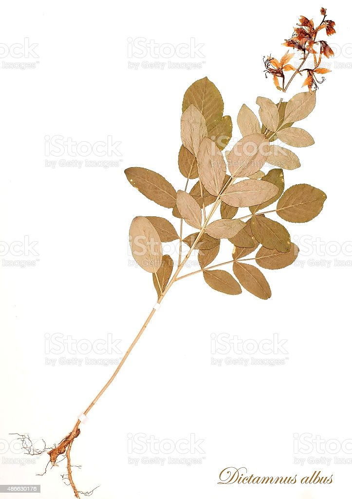 dried plant - Dictamnus albus stock photo