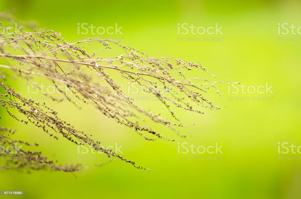 Dried plant on blurred green background stock photo