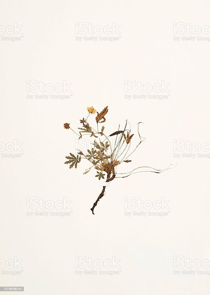 dried plant - Potentilla australis stock photo