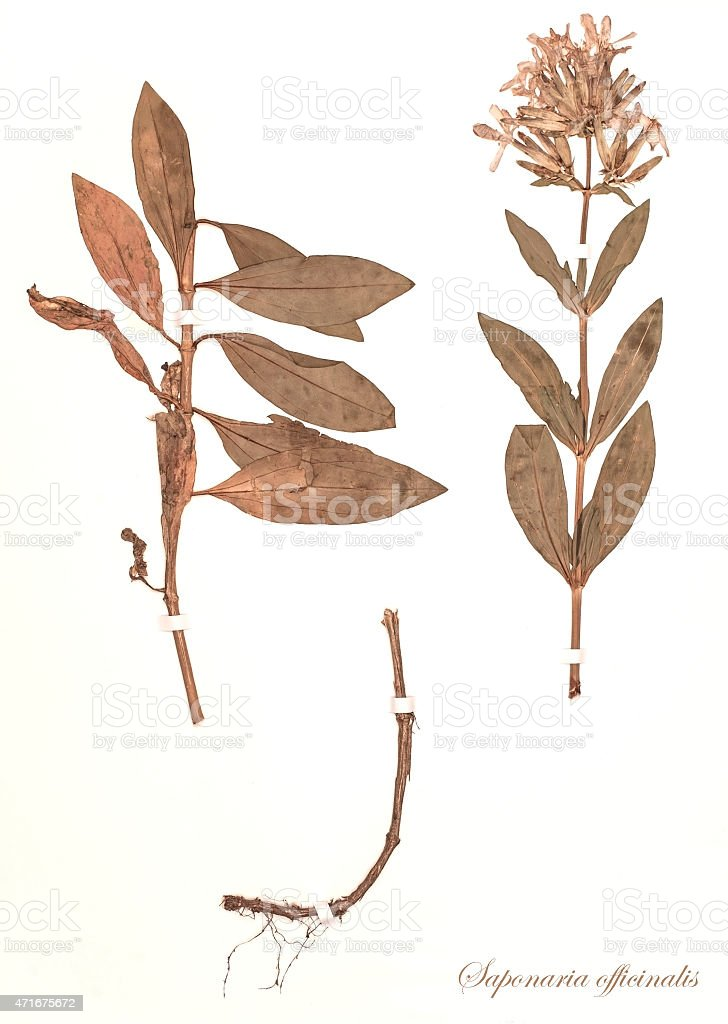 dried plant - Saponaria officinalis stock photo