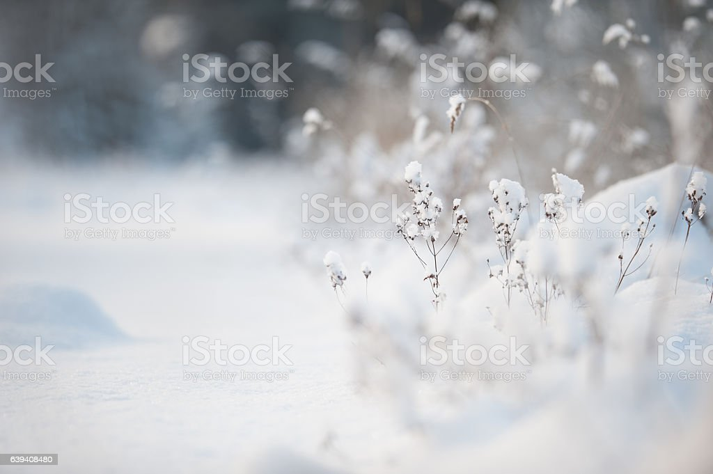 Dried plants in snow stock photo
