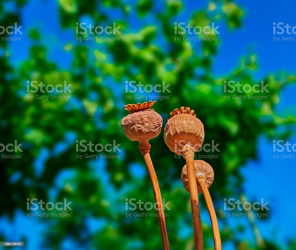 dried poppy pods royalty-free stock photo