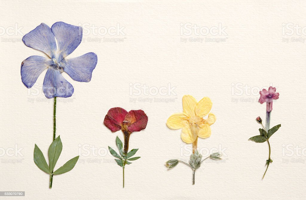 Dried pressed flowers stock photo