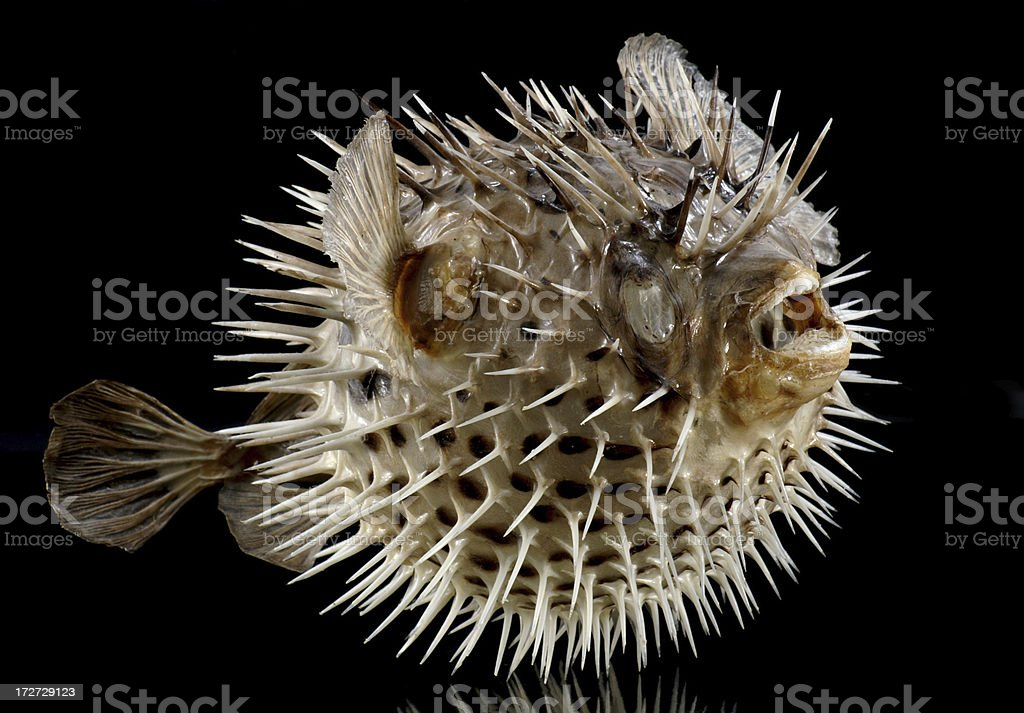 Dried Puffed Up Puffer Balloon Fish stock photo