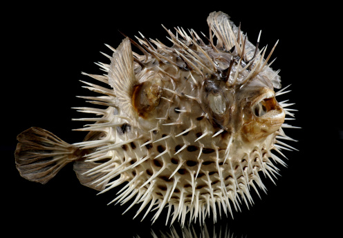 Puffer fish pictures images and stock photos istock for Puffer fish price